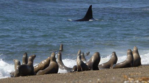 Sendungsbild: Killerwale – Die perfekten Meeresjäger