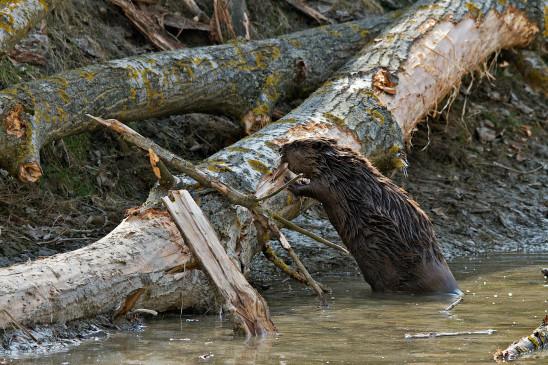 Sendungsbild: Wildnis am Strom – Nationalpark Donau-Auen