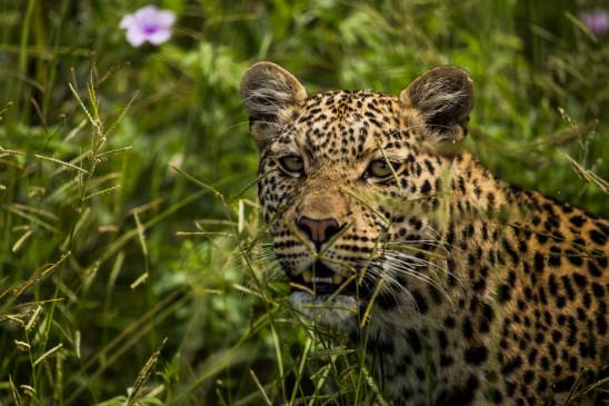 Sendungsbild: Königreich der Leoparden