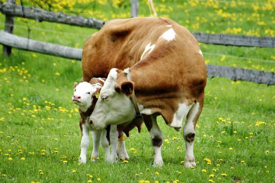 Sendungsbild: Der Bauer und das liebe Vieh