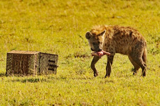 Sendungsbild: Hyänen – Die Königinnen der Masai Mara