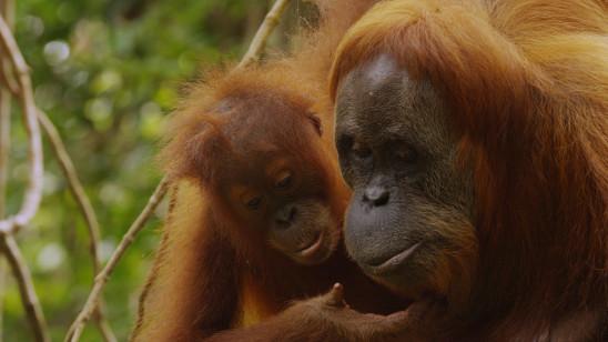 Sendungsbild: Das letzte Paradies der Orang-Utans