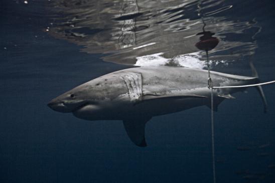 Sendungsbild: Shark Men – Die Haiforscher