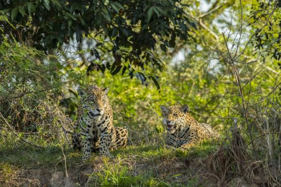 Sendungsbild: Jaguar vs. Krokodil