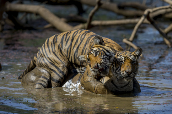 Sendungsbild: Kampf der Tiger