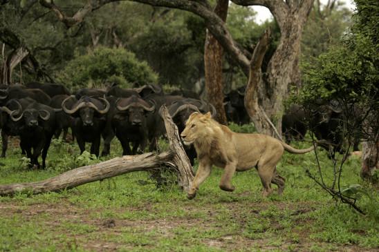 Sendungsbild: Kampf der Löwenkönige