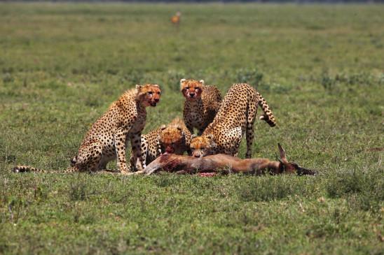 Sendungsbild: Geparde – Afrikas elegante Jäger