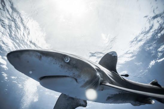 Sendungsbild: Haie, gejagte Jäger
