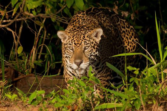Sendungsbild: Der Jaguar – Jäger im Pantanal