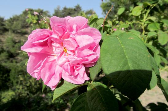 Sendungsbild: Frühmorgens in den Rosenfeldern von Agros