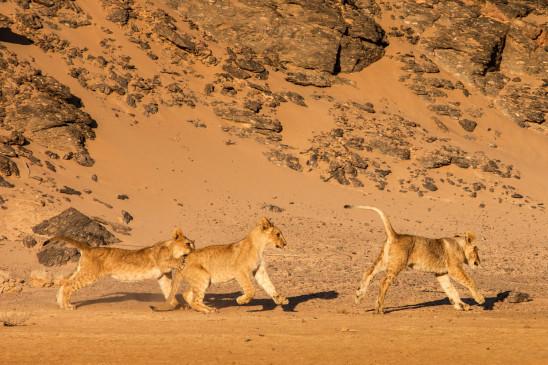 Sendungsbild: Die Wüstenlöwen der Namib – Aufbruch und Wiederkehr