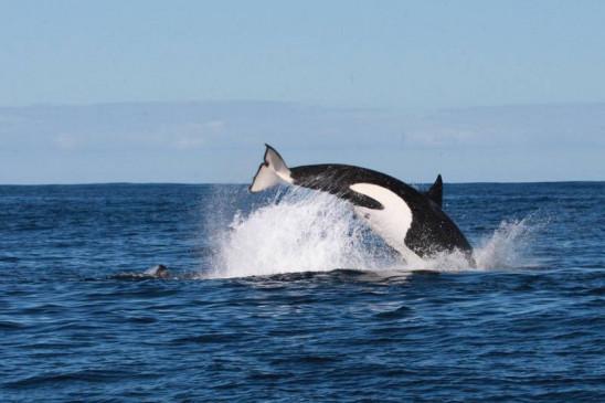 Sendungsbild: Der tödlichste Wal der Welt