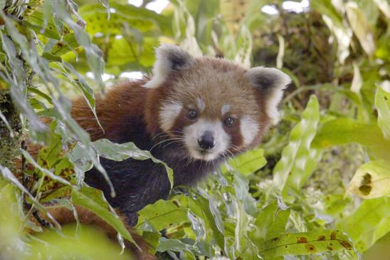 Sendungsbild: Der Kleine Panda