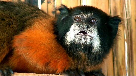 Sendungsbild: Affenalltag am Amazonas