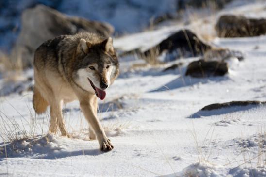 Sendungsbild: Die Odyssee der einsamen Wölfe