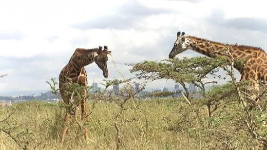 Sendungsbild: Kenia: Kein Platz für wilde Tiere