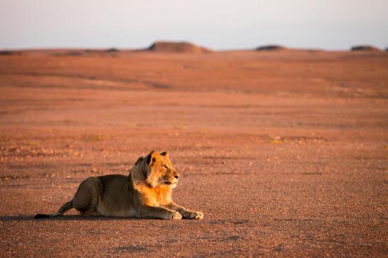 Sendungsbild: Wüstenkönige – Die Löwen der Namib