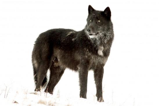 Sendungsbild: Die Rückkehr der Wölfe