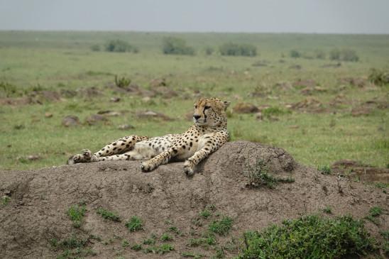 Sendungsbild: Königin der Geparden
